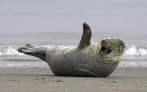 laughing-seal-on-beach